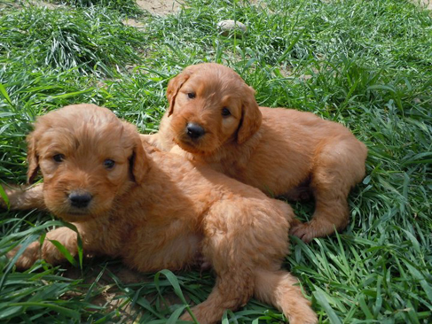 goldendoodle mini puppies. goldendoodle dogs.